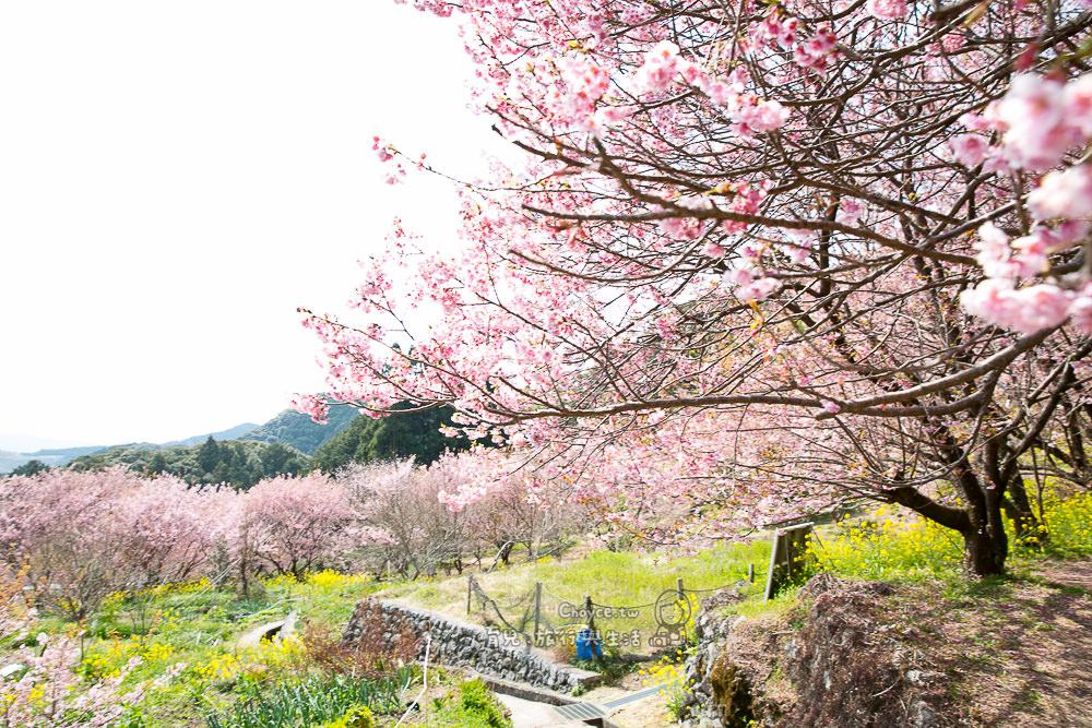 雪割り桜 四國最早櫻花盛開名景 桜咲 桑田山(そうだやま)免費入園