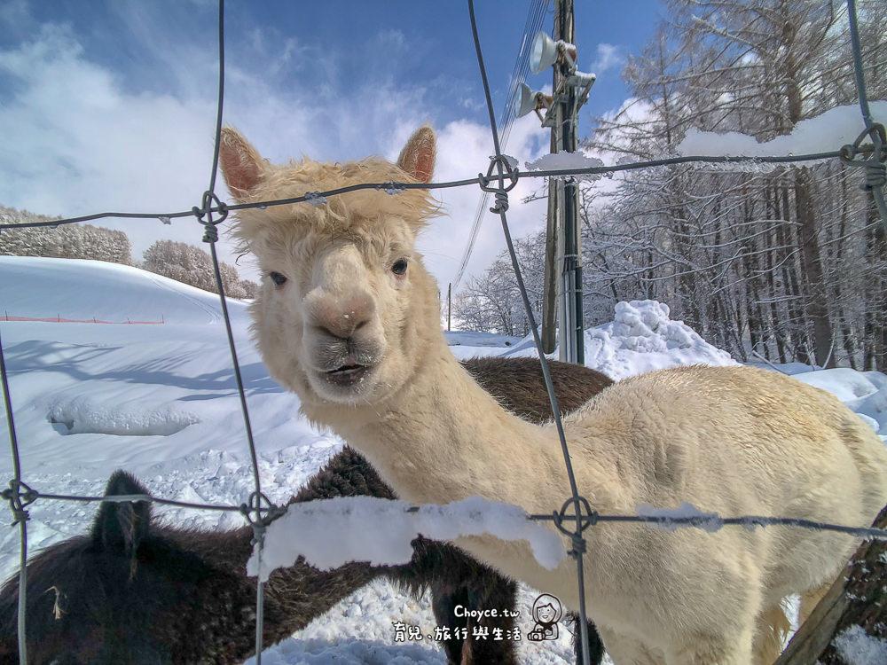 一日草泥馬照護員零距離體驗 劍淵 viva alpaca farm
