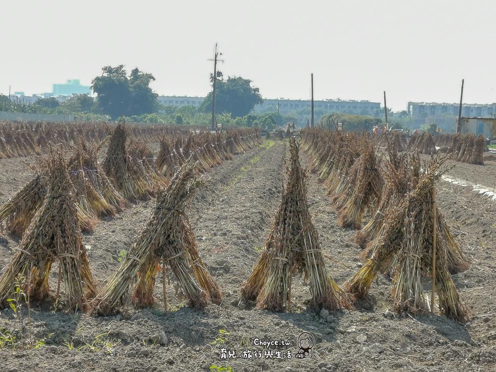 台灣最美的風景 台南善化芝麻田 麻油生產工場見學 直接跟農人買