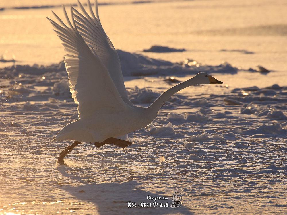 Swan in Lake Kussharo 屈斜路湖之白天鵝