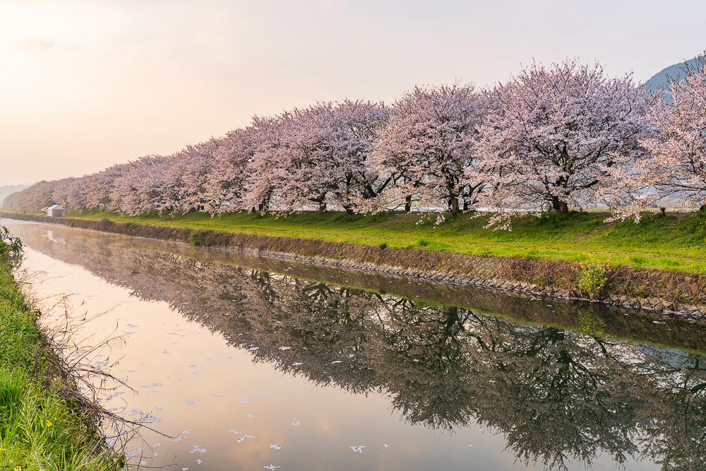 巨瀨川櫻花步道1