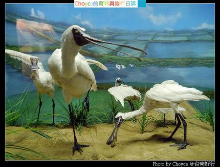 (台灣好好玩) 台南好行 北方來的嬌客現蹤跡 @七股 黑面琵鷺生態展示館 (99台江線-黑面琵鷺生態展示館站)